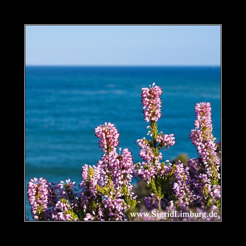 Heidekraut mit Meer im Hintergrund