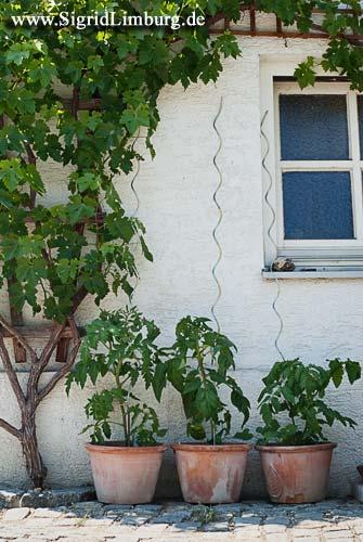 Foto Tomatenpflanzen