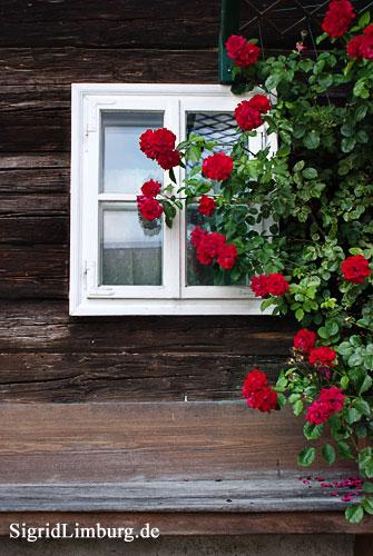 Fotografie Foto Rosen vor unserem Wohnzimmerfenster