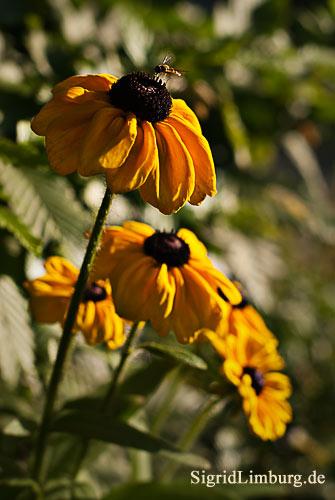 Foto Fotografie Blumen Blüten gelber Sonnenhut mit Schwebefliege Rudbeckia hirta