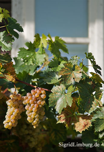 Foto Fotografie Weintrauben vor Hauswand und Fenster