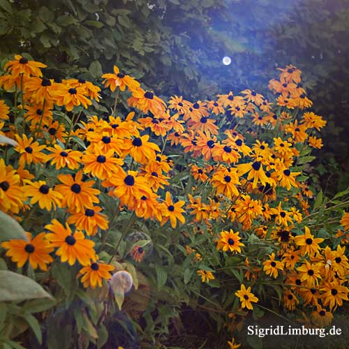 Foto Fotografie Sonnenhut Rudbeckia hirta
