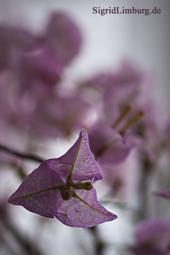 Foto Fotografie blhende Bougainvillea