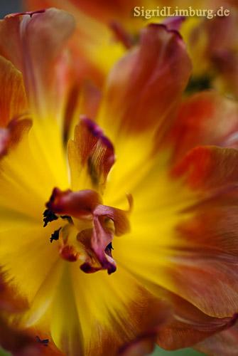 Foto Fotografie Tulpenblüte rot und gelb