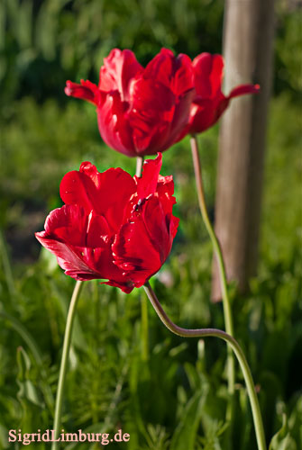 Foto Fotografie rote Tulpen