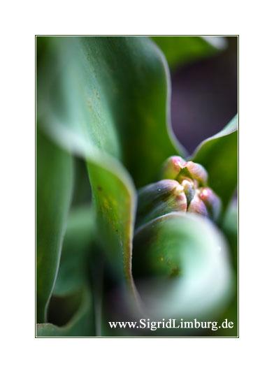 Foto Fotografie grüne Tulpe