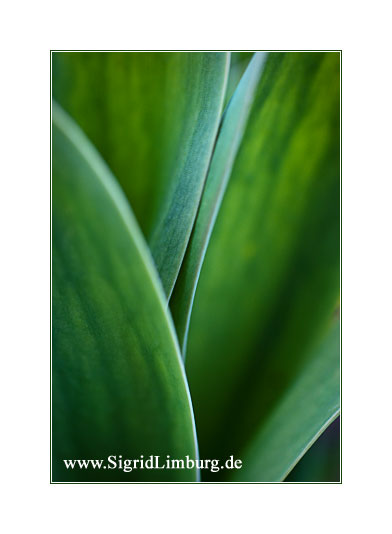 Foto Fotografie grne Tulpe