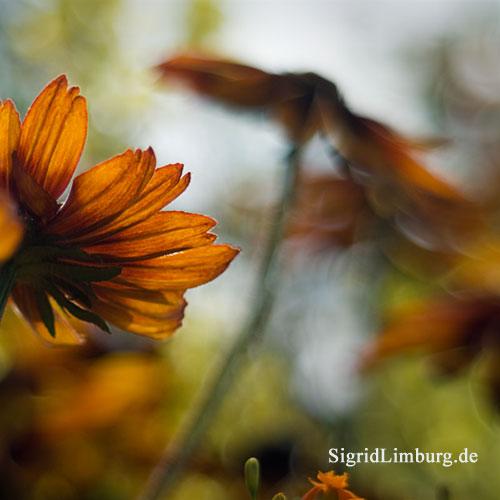 Fotografie Sonnenhut (Rudbeckia hirta) © Sigrid Limburg