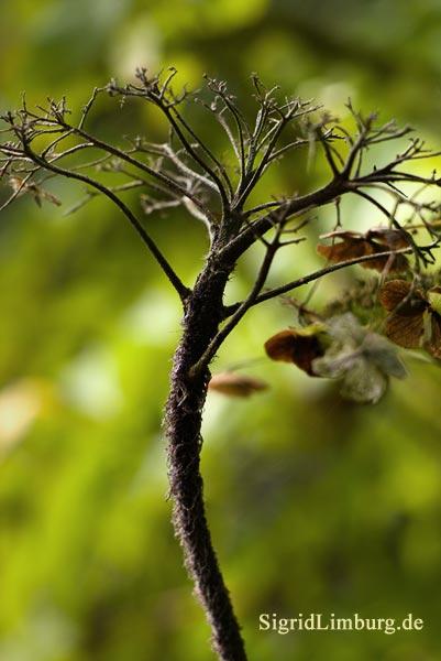 Fotografie Hortensie im Herbst © Sigrid Limburg