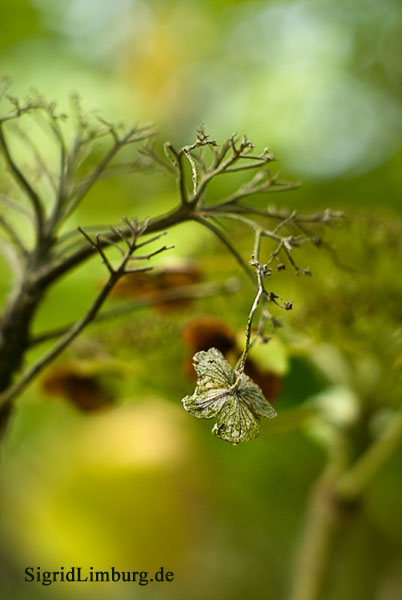 Fotografie Hortensienblüte im Herbst © Sigrid Limburg