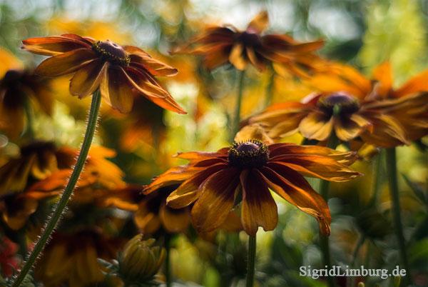 Fotografie Sonnenhüte (Rudbeckia hirta) © Sigrid Limburg