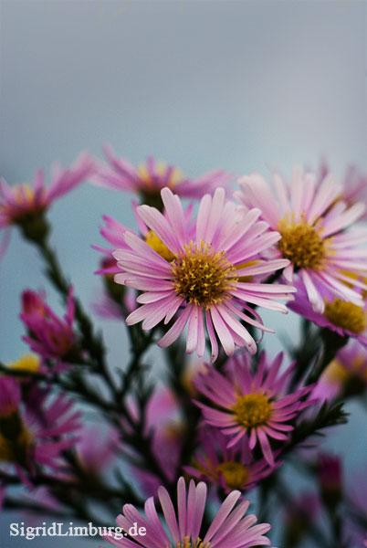 Fotografie Astern und Herbsthimmel © Sigrid Limburg