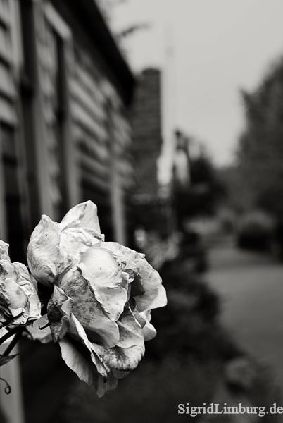 Fotografie Rose in Zaanse Schans © Sigrid Limburg