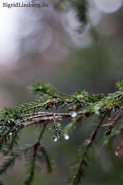 Fotografie Tropfen an einem Nadelbaum im Wald © Sigrid Limburg