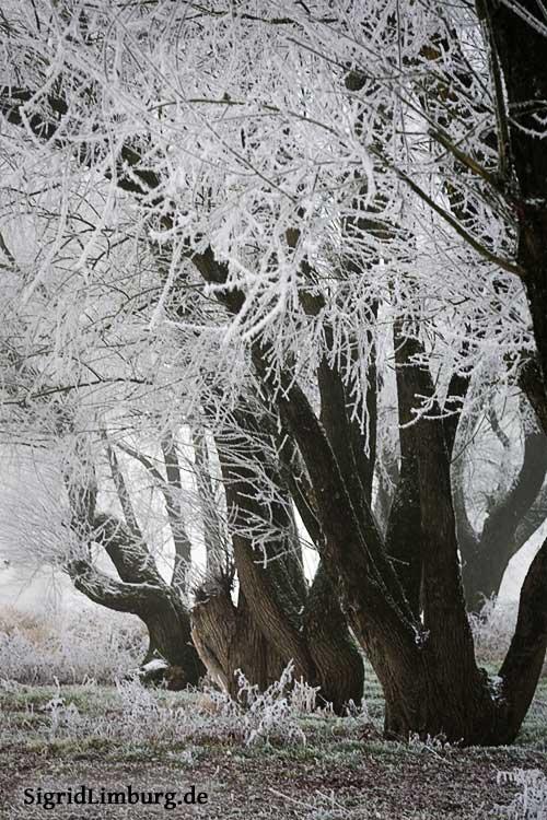 Fotografie Frostbedeckte Bäume © Sigrid Limburg