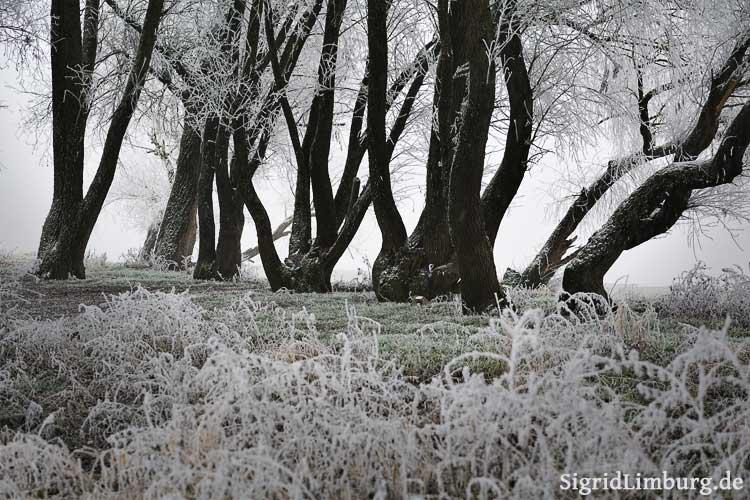 Fotografie Frostbedeckte Bäume im Nebel © Sigrid Limburg