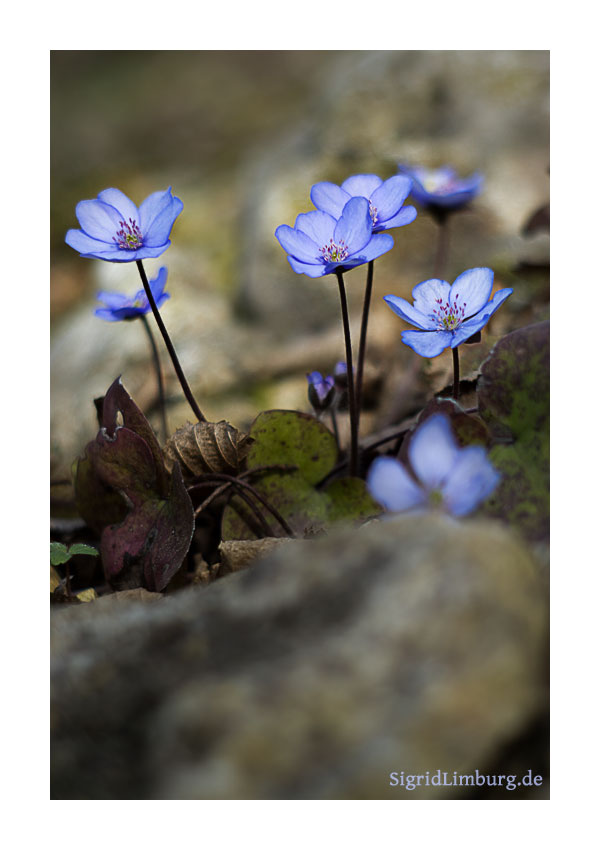 Fotografie Leberblümchen im Garten © Sigrid Limburg