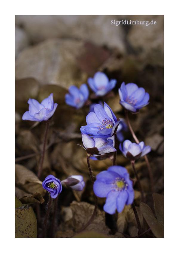 Fotografie Leberblümchen © Sigrid Limburg