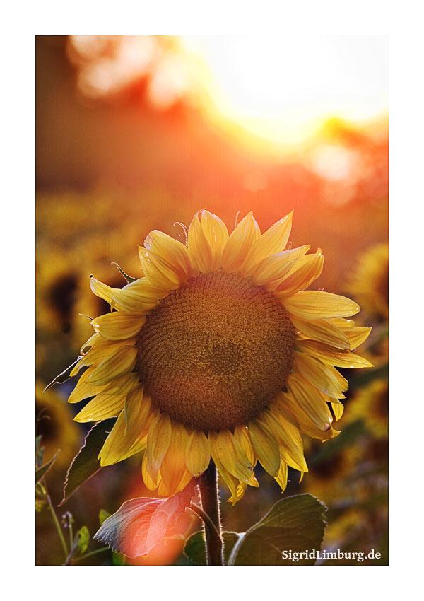 Fotografie Sommer Sonnenblume © Sigrid Limburg